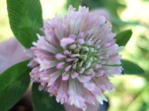 Bee-friendly plant Clover