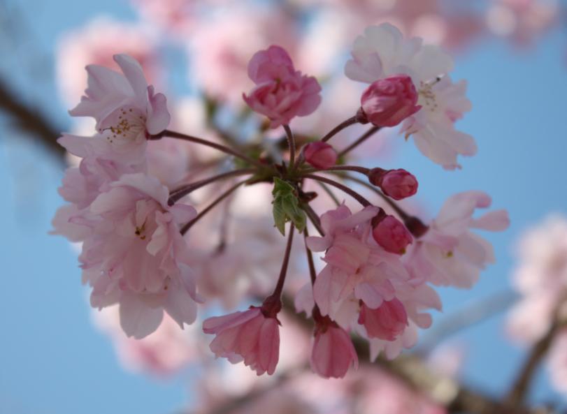 Cherry blossom in Tokyo - © Gerardo Dilillo
