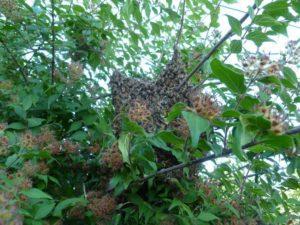 Jeff - small swarm hiding