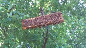A frame of comb gathers the remains of a swarm