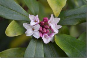 Winter Daphne (Daphne odora)